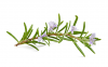 Sprig of Rosemary - flowering